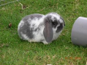 NHD konijn, nederlands hangoor dwergkonijn, kleur