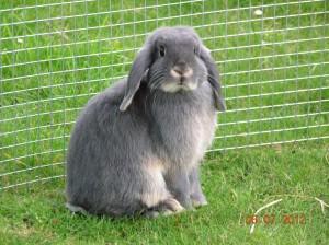 NHD Nederlandse Hangoor Dwerg konijn voedster kleur blauw otter