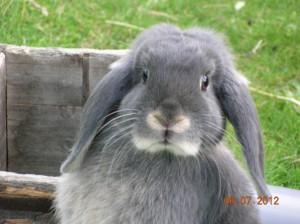 NHD konijn, nederlands hangoor dwergkonijn, kleur blauw otter