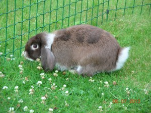 NHD Nederlandse Hangoor Dwerg konijn ram kleur bruin zilvervos