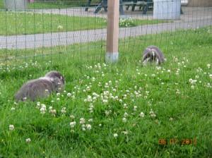 NHD konijn, nederlands hangoor dwergkonijn, kleur blauw bont en blauw zilvervos
