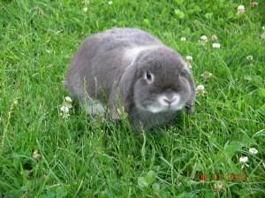 NHD konijn, nederlands hangoor dwergkonijn, kleur blauw zilvervos