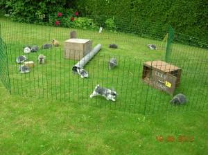 NHD fokkerij Agiora: jonge nederlandse hangoor dwergkonijnen in diverse kleuren