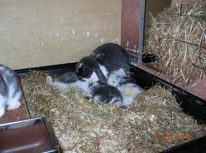 jonge hangoordwergkonijntjes