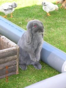 NHD konijn, nederlands hangoor dwergkonijn, kleur blauw